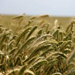 field agriculture food supply rye